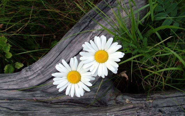 Two-White-Daisy